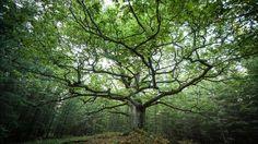 Kenpä siitä oksan otti, se otti ikuisen onnen; kenpä siitä latvan taittoi, se taittoi ikuisen taian; kenpä lehvän leikkaeli, se leikkoi ikuisen lemmen.  Monille tulee yllätyksenä, että tammi on meille suomalaisille pyhä puu. Se on keskeinen osa suomalais-ugrilaista maailmanpuukertomusta, joka yhdistää myös monia muita alkuperäiskansoja ympäri maailman. Kotoisessa Kalevalassamme suuri tammi yhdistää maan, taivaan ja tuonelan. Taivas oli litteä, kupolimainen kirjokansi, joka kiertyi…