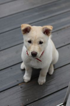 Jindo Dog that looks like our Fitz!