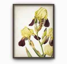 Yellow Iris Antique Botanical Flowers Art Print  by QuantumPrints