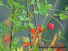 How to Grow Cardinal Climber Vine - A Beautiful Hummingbird Magnet