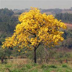 ipê amarelo - Bing Imagens