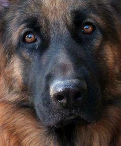 Beautiful German shepherd