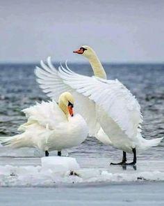 Pretty Birds, Love Birds, Beautiful Birds, Animals Beautiful, Nature Animals, Animals And Pets, Funny Animals, Cute Animals, Swans