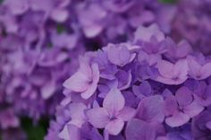 "hydrangea ""endless summer"" with a saturated purple color"