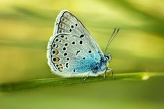 Polyommatus amandus by Ramazan KAMARI on 500px