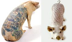 Look at this asshole. Tattoo's HURT! Belgian artist Wim Delvoye has been tattooing pigs since the 1990s. In the early 21st century a tattooed pigs project was set up in the Art Farm in China, where there are fewer strictures regarding animal welfare than in most parts of the Western world.