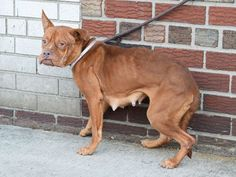 SAFE --- Brooklyn Center   TIFFANY - A1023000  FEMALE, BROWN / WHITE, PIT BULL / BOXER, 3 yrs STRAY - STRAY WAIT, NO HOLD Reason STRAY  Intake condition UNSPECIFIE Intake Date 12/12/2014, From NY 11420, DueOut Date 12/15/2014 https://www.facebook.com/photo.php?fbid=923665590979654%2F