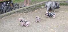Miniature pot-bellied piglets, Lycksele Zoo, Sweden.