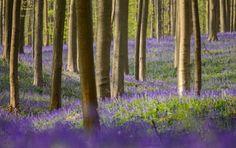 Floresta Hallerbos, na Bélgica, conhecida como floresta azul, por conta da florada de bluebell na primavera. Florada 2014.