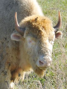 A white albino buffalo grazes in a pasture September 30, 2010 at the National Buffalo Museum in Jamestown North Dakota