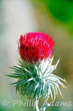 Thistle flower. #NevadaWilds