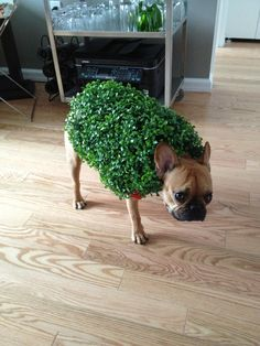 French Bulldog - Chia Pet costume