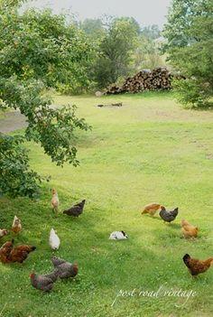 chicken meadow