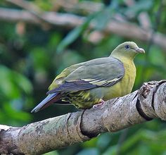 Comoros Green Pigeon(Treron griveaudi)