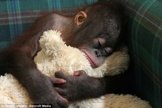 An orphan baby Orangutan curls up with its favourite teddy bear for a snooze at Borneo Orangutan Survival Foundation rehabilitation center on Bangamat Island in Indonesia