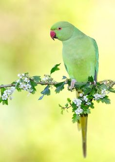 Parakeet, Bird, Rose, Animals, Steel, Pink, Animales, Animaux, Parakeets