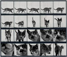Muybridge Locomotion Studies of Domestic Cats