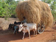Cow_Vedic_Village