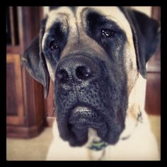 looks like my baby :) Old English Mastiffs, English Mastiff Puppies, Mastiff Dogs, Corgi Puppies, Dog Grooming Business, Black Lab Puppies, Animal Photography, Equine Photography, Animal Faces