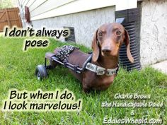 Charlie Brown the Handicapable Doxie in his Eddie's Wheels wheelchair. Weenie Dogs, Doggies, I Love Dogs, Cute Dogs, Dog Wheelchair, By Any Means Necessary, I Cord, Dog Pin, Dachshund Love