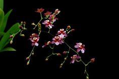 Orchideeen-shop.nl - Oncidium Twinkle Chian Tzy Delight