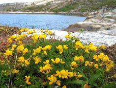 Tiriltunge (Lotus corniculatus)