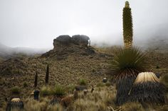 Exotic Queen of the Andes Plant Blooms Just Once Each Century