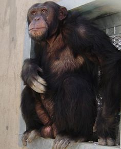 """Many chimps suffering from emotional trauma can ultimately be integrated back into groups and recover but a small number, such as Clay—who was separated from his mother 10 hours after his birth and grew up apart from all other chimpanzees—cannot be integrated and end up living on their own. """"But one thing Clay has is a very positive attitude,"""" she says. """"He's friendly and loves to play. Soon he will have a new special needs facility home at Save the Chimps"""