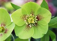 Helleborus 'Green Gambler' -- Though green-flowered hellebores have typically been known as slower growers in the past, 'Green Gambler' is just as vigorous and floriferous as the others in this series.  Large 3in, single flowers are bright apple green, some with burgundy spotting, picotee, or veining on each petal.  A few will even be double!