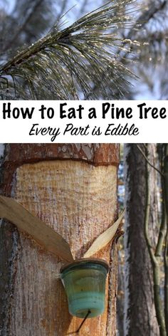 How to Eat a Pine Tree (and other Conifers) — Practical Self Reliance