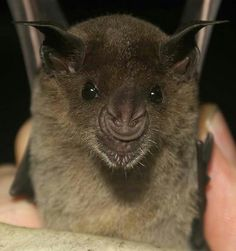 The Pale Spear Nosed Bat from ,Trinidad