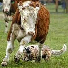 Australian cattle dog working a cow.