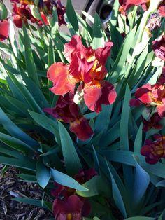 Iris in the park #brooklyn