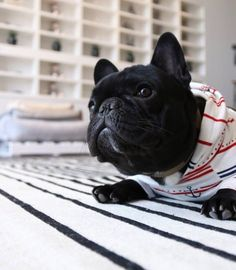 The major breeds of bulldogs are English bulldog, American bulldog, and French bulldog. The bulldog has a broad shoulder which matches with the head. Bulldog Breeds, Bulldog Puppies, Dogs And Puppies, Doggies, Silly Dogs, Cute Dogs, Baby Animals, Cute Animals, Puppy Face