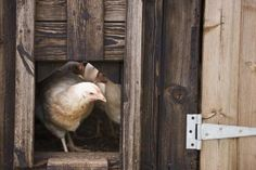 How To Make A Diy Hen House