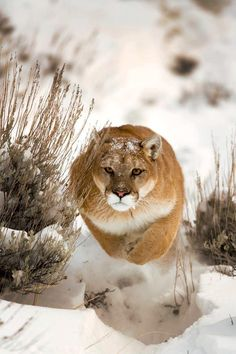 Hunting puma , cougar, catamount, mountain lion whatever u want to call it Big Cats, I Love Cats, Cats And Kittens, Cats 101, Vida Animal, Mundo Animal, Beautiful Cats, Animals Beautiful, Cute Animals