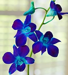 Like a bit of paradise for someone special, our tropical Ocean Breeze orchids are specially color-enhanced. Blue Orchid Flower, Ocean Flowers, Orchid Color, Orchid Bouquet, Daffodil Flower, Exotic Flowers, Colorful Flowers, Flower Colour, Cactus Flower
