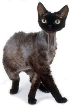 Devon rex - #tiny - See More Tops Devon Rex Cat Breeds at Catsincare.com!