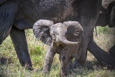Adorable baby elephant in the Masai Mara, Kenya by Anja Gröbel