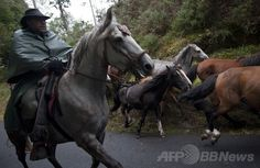 スペイン北西部サブセド(Sabucedo)村で行われた馬の祭り「ラパ・ダス・ベスタス(野獣の毛刈りの意)」で、野生の馬を寄せ集める村の男性(2014年7月5日撮影)。(c)AFP/MIGUEL RIOPA ▼7Jul2014AFP|「野獣の毛刈り」祭り、野生の馬を追い込む男性たち スペイン http://www.afpbb.com/articles/-/3019842 #Rapa_das_Bestas_of_Sabucedo #Rapa_das_Bestas_de_Sabucedo