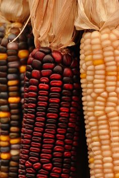 A traditional autumn house blessing.a swag of Indian corn! Seasons Of The Year, Best Seasons, Autumn Day, I Fall, Autumn Leaves, Happy Fall Y'all, Fall Harvest, Harvest Corn, Harvest Time