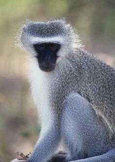 Vervet monkey (Chiorocebus pygerythrus)
