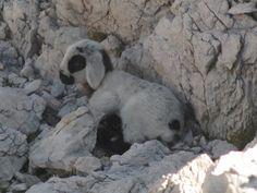 Foto zgodba 7: Ovčji mladiček, opažen na poti na Rjavino. Avtor: Petra Nastran