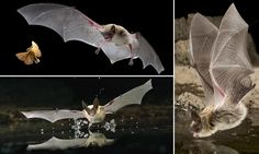 Stunning images show agile bats hunting moths and drinking from pond