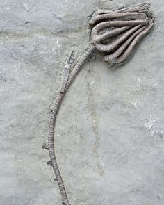 Agaricocrinus americanus by T. Shearer Crinoid fossil from Crawfordsville, Indiana, US.