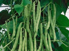 growing green beans - Google Search