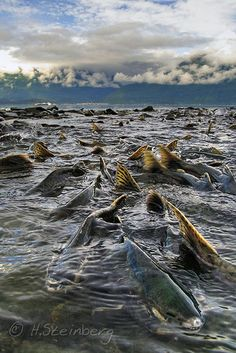 Alaska Salmon Run - Prince William Sound, Alaska