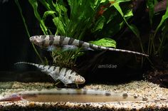 Centipede Knife Fish | or r they comm wif other fishes attached image s
