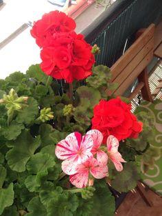 Las Cositas de Gini: Las Flores De Mi Balcón