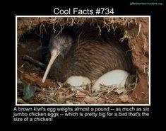 Cool facts #734  http://en.wikipedia.org/wiki/North_Island_brown_kiwi